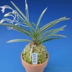 【富貴蘭】 御城覆輪(ごじょうふくりん)2条/ 花 蘭 古典植物 フウラン