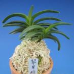 【富貴蘭】 翠華殿(すいかでん)2条/ 花 蘭 古典植物 フウラン