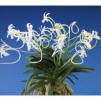 【富貴蘭】 聖代(せいだい)3条/ 花 蘭 古典植物 フウラン