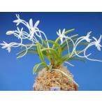 【富貴蘭】 黄金錦(こがねにしき)3条/ 花 蘭 古典植物 フウラン