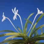【富貴蘭】 雛童(ひなわらべ)3条/ 花 蘭 古典植物 フウラン