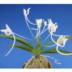 【富貴蘭】 天女の舞(てんにょのまい)1条/ 花 蘭 古典植物 フウラン