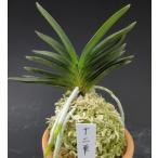 【富貴蘭】  十二単(じゅうにひとえ)1条/ 花 蘭 古典植物 フウラン