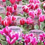 ガーデン シクラメン苗 3号ポット 24鉢セット 花色おまかせ