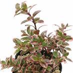 お正月飾り/花/生花/門松/ミニお正月寄せ植え ミニ葉牡丹 ヤブラン ほか 高さ28cm