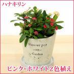 ハナキリン(生花) ユーフォルビア 陶器鉢(鉢皿付) 高さ20cm〜25cm 送料無料 生花 多肉植物