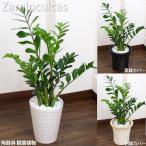 ザミオクルカス 白陶器鉢 高さ75cm〜85cm 白陶器鉢+鉢カバー黒or白 生花 観葉植物