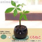 パキラ アニマルPOT陶器鉢(プラ鉢皿付) 高さ18cm〜23cm 観葉植物(生花)