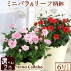 【選べる2色】誕生日プレゼント 花 鉢植え バラ 6号 薔薇 母 おばあちゃん お祝い 女性 お祝い ギフト 結婚祝い 出産祝い 内祝い 40代 50代 60代 70代