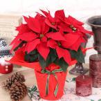 ポインセチア(鉢花)ラッピング付き(5号)クリスマスギフト
