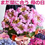 母の日 プレゼント アジサイ 6号鉢 ギフトに あじさい 紫陽花 鉢植え 贈り物 ダンスパーティなど