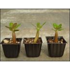 アデニウム・オベッスムの種 10粒+栽培セット