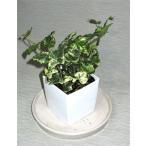 カランコエ鉢植え(2.5号)