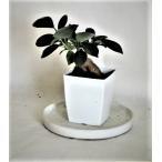 ミニ観葉植物ガジュマル鉢植え(2.5号)