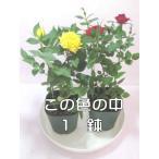ショッピングミニ ミニバラ鉢植え(2.5号)