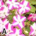 花の苗 インパチエンス(アフリカホウセンカ) の苗 3号ポット ※花色おまかせ