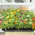 花の苗 ジニア プロフュージョン(ヒャクニチソウ 百日草)の苗 3号ポット※花色おまかせ複数注文の場合はMIXになります。