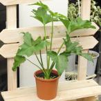10鉢限定 フィロデンドロン セローム 高さ40cm×幅24cm 4号プラ鉢 観葉植物