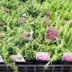 処分品 庭木・地被植物の苗木 シバザクラ(芝桜)の苗木 3.5号ポット ※色はおまかせ