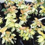 庭木・つる性植物の苗木 テイカカズラ(オウゴンニシキ)の苗木 3号ポット
