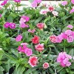 花の苗 ナデシコ(ダイアンサス)の苗 3号ポット ※色はおまかせ