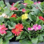花の苗 ガーベラ(ミニ)の苗 3号ポット※花色おまかせ複数注文の場合はMIXになります。