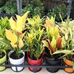 観葉植物の苗 クロトン(ヘンヨウボク)の苗木 3.5号ポット※種類をおまかせ。