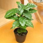 果樹の苗 コーヒーノキの苗 3.5号ポット