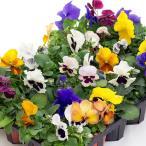 花の苗 パンジーの苗 3号苗 ※花色はおまかせ下さい(複数注文の際にはMIX色で送らせていただきます)
