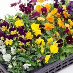 花の苗 ビオラの苗 3号苗 ※花色はおまかせ下さい(複数注文の際にはMIX色で送らせていただきます)