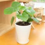 フィカス ウンベラータ 高さ30cm×幅35cm  陶器鉢(鉢皿付) 観葉植物
