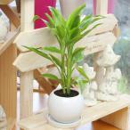 ドラセナサンデリアーナ  観葉植物 万年竹 ミリオンバンブー