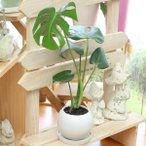 観葉植物(生花) モンステラ 陶器鉢(鉢皿付) 高さ40cm〜50cm