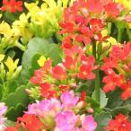 花の苗 カランコエ(ベニベンケイ) 3.5号ポット ※種類、色はおまかせ