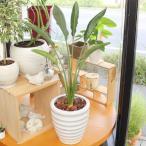 ストレリチア レギネ 極楽鳥花 陶器鉢(鉢皿無) 高さ85cm〜95cm 観葉植物(生花) ※鉢皿無しのため格安なっています。