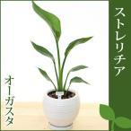 ストレリチア オーガスタ 陶器鉢(鉢皿付) 高さ50cm〜60cm 観葉植物(生花)