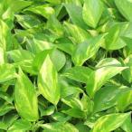 観葉植物 ポトス 3号ポット オウゴンカズラ 黄金葛 育てやすくとってもかわいい。