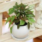 観葉植物(生花) ヒポエステス(ソバカスソウ) 陶器鉢(鉢皿付) 高さ20cm〜25cm