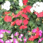 花・ハーブの苗 ゼラニウム リンゴ2000 3号ポット※色はおまかせ複数注文の場合はMIXになります。