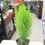 ショッピングゴールド 観葉・庭木の苗 ゴールドクレスト ウィルマ 苗木 3.5号ポット クリスマスツリー