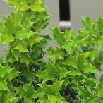 樹木 ヒメヒイラギ 柊 庭木 庭木・観葉植物の苗木 3号ポット