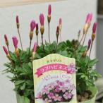 花苗 オキザリス 桃の輝き 和名:ハナカタバミ 3.5号ポット