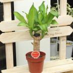 観葉植物 ドラセナマッサンゲアナ 別名:幸福の木 ドラセナマッサン 4号プラ鉢