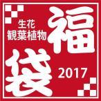 あすつくOK! 観葉植物 福袋 (例)モンステラ4号+サンスベリアスタッキー4号+多肉植物+他苗( 合計¥8,000〜¥10,000相当)