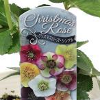 花苗 クリスマスローズ 和名:レンテンローズ ヘレボラス 3号ポット カラーは咲いてからのお楽しみ♪