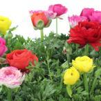 ラナンキュラス苗 別名:ハナキンポウゲ 花の苗(生花) 花色おまかせ 複数ご注文の場合は花色MIXになります。