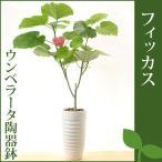 観葉植物(生花) フィカス ウンベラータ 陶器鉢 高さ100cm〜120cm