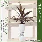 コルディリネ(アイチアカ) おしゃれ陶器鉢 別名:センネンボク 高さ45cm〜55cm 送料無料 生花 観葉植物