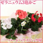 花鉢 ゼラニュウム かご付3色セット 別名:ゼラニューム