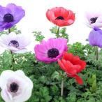 アネモネ苗 花の苗(生花) 花色おまかせ 複数ご注文の場合は花色MIXになります。